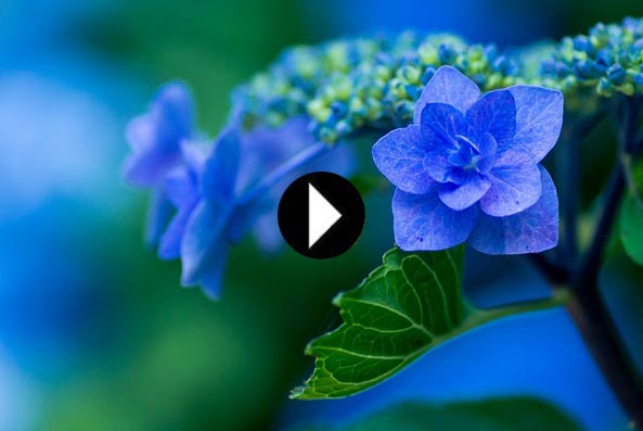 video coltivare ortensie