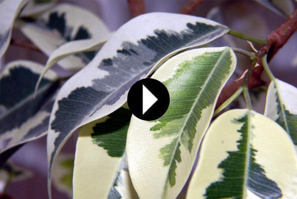 video ficus