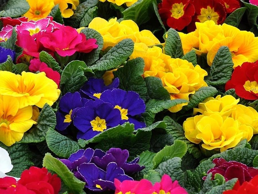 Fiori Di Primavera.Primule Il Primo Fiore Di Primavera
